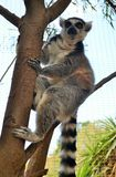 Catta-mono Isla-España Parque-Tenerife-canaria del lémur Imagen de archivo libre de regalías