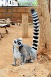 Catta-mono Isla-España Parque-Tenerife-canaria del lémur Imagenes de archivo