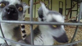 Catta van de de Makienmaki van Madagascar Mongoes van ring-De steel verwijderde stock footage