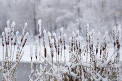 Cattail στο χιόνι Στοκ φωτογραφίες με δικαίωμα ελεύθερης χρήσης
