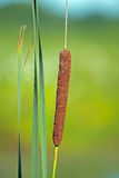 Cattail Stock Images