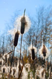 Cattail Royalty Free Stock Photography