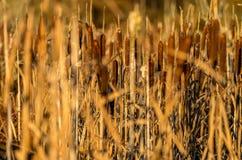 cattail Стоковая Фотография