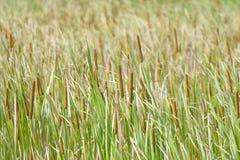 cattail Στοκ εικόνες με δικαίωμα ελεύθερης χρήσης