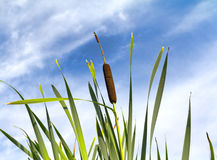 Cattail against blue cloudy sky Stock Photo
