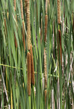 Cattail background Stock Images