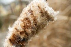 Cattail/Bies het Bloeien stock afbeeldingen