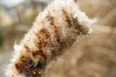 Cattail-/Binsen-Blühen Stockbilder