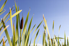 Cattail Blooms Against Blue Sky. Cattail Against Blue Sky in horizontal orientation Royalty Free Stock Photography