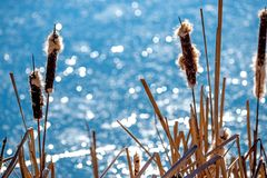 Cattail with blossom at a pond. In Germany Royalty Free Stock Images