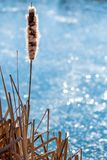 Cattail with blossom at a pond. In Germany Royalty Free Stock Photo