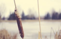 Cattail. Blowing in the wind royalty free stock photography