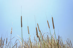 Cattail and blue sky Stock Photo