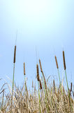Cattail and blue sky Royalty Free Stock Images