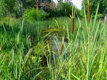 Cattail on the bog. Bog with cattail stock images