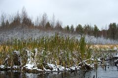 Cattail and bulrush under snow Royalty Free Stock Photos