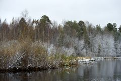 Cattail and bulrush under snow Stock Image