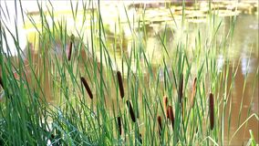 Cattail bush acorus. In the nature stock footage