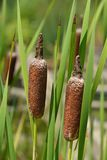 Cattail. Leaves and flowers - Latin name - Typha shuttleworthii royalty free stock photography