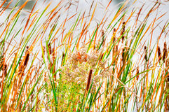 Cattail Royalty Free Stock Image