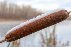 Cattail coperto di primo piano della neve immagini stock