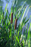 Cattail, damselfly, rivier Royalty-vrije Stock Foto
