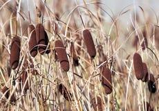 Cattail in de herfst stock foto