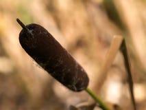 Cattail de la flor fotos de archivo libres de regalías