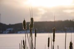 Cattail del invierno Fotografía de archivo