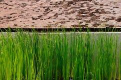 cattail della Stretto-foglia con la parete ed il vecchio tetto dell'assicella Fotografia Stock Libera da Diritti