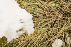 Cattail di sera di inverno di Snowy La tifa asciutta Latifolia fiorisce, anche chiamato Cattails, nella neve vicino al giorno con Immagini Stock Libere da Diritti