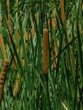 Cattail do Typha que cresce alto na água Fotos de Stock