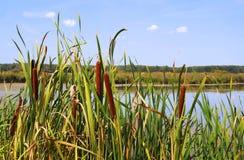 Cattail em uma lagoa, close-up fotos de stock royalty free