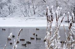 Cattail en nieve Fotos de archivo libres de regalías