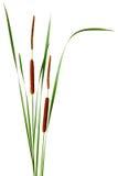 Cattail Estreito-com folhas fotografia de stock royalty free