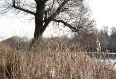 Cattail et arbre Photo stock