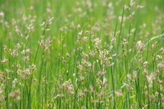 Cattail field. Grass and cattail field in nature stock photos