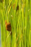 Cattail, fond vert photos stock