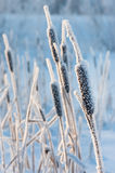 Cattail in the frost. Covered with abundant cattail with frost Beautiful winter landscape stock image