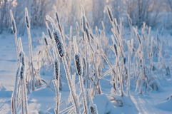 Cattail in the frost Stock Images
