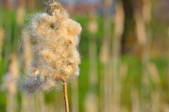 Cattail grass or Typha  is a genus of about 30 species of monocotyledonous flowering plants Stock Photography