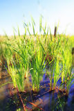 Cattail Marsh Stock Image