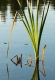 Cattail leaf reflections Stock Photography