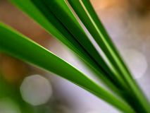Cattail leaves in sunlight Royalty Free Stock Photography