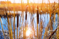 Cattail marsh at the edge in the sunlight royalty free stock photography