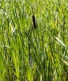 Cattail no pântano foto de stock