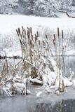 Cattail pirscht sich in einem gefrorenen Teich an, der im frischen Schnee bedeckt wird Lizenzfreie Stockfotos