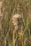 Cattail que florece en humedales Fotos de archivo