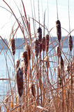 Cattail and reed close up. Autumn photo near the lake. Royalty Free Stock Photo