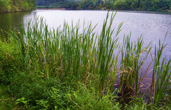 Cattail Reeds at Douthat Lake State Park Royalty Free Stock Photography